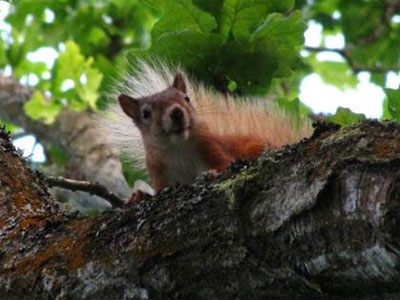 Red Squirrel on Brownsea, photo Tim Norris